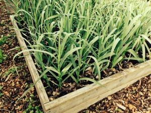 garlic-416030_1280