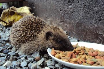 hedgehog-107962_1280
