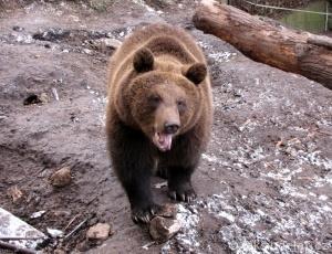 medvědi točník