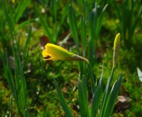 narcissus-pseudonarcissus-324116_1280