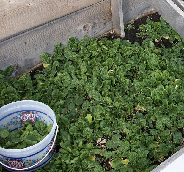 Na pěstování stačí větší plastová nebo dřevěná nádoba.
