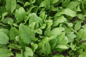 spinach-506616_1280
