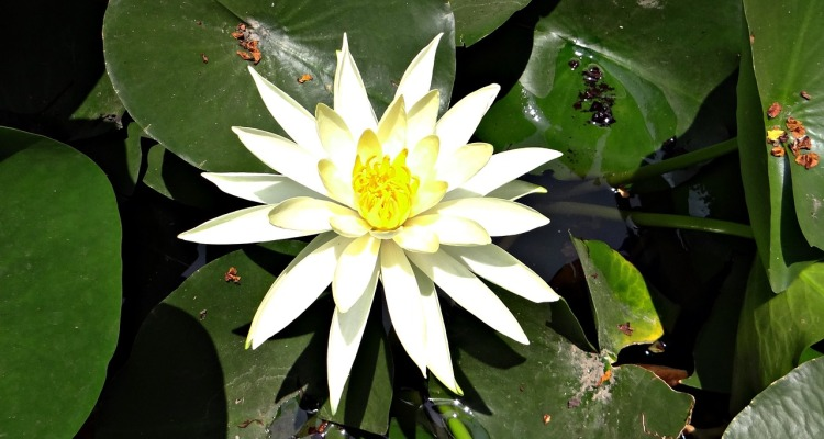 water-lily-332287_1280