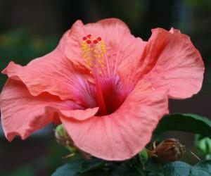 hibiscus-509430_1280