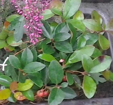 Pro krásu červenajících bobulí je oblíbená libavka.