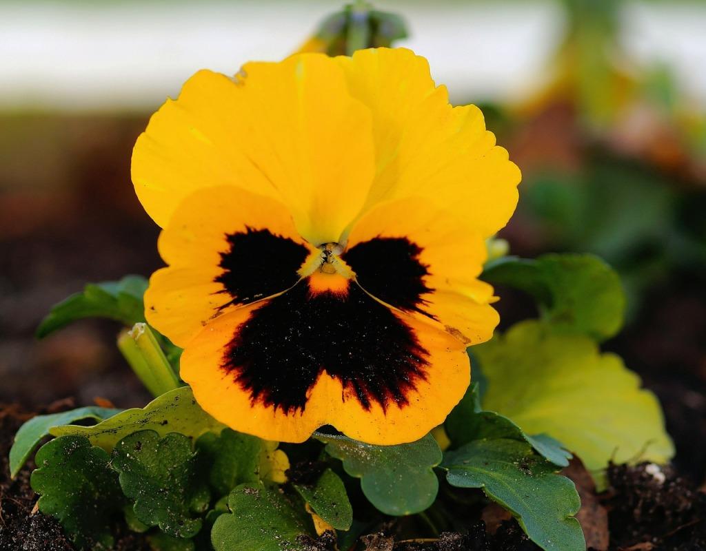 Něžné macešky se hodí i na podzim. Na jaře je můžete vyměnit za nové.