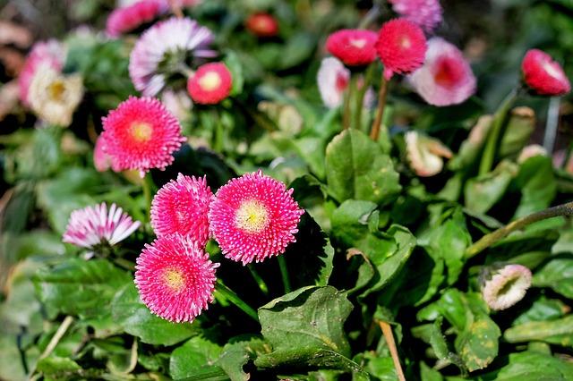 daisy-1250320_640