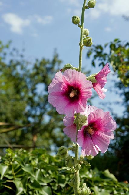 Topolovce se lidově říká slézová růže.