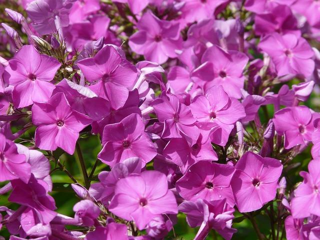 floxy flower-58624_640