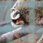 Malé opičky kosmani ve svých voliérách neúnavně řádí.