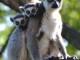 lemur-kata-980x490