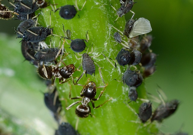 aphids-756836_640