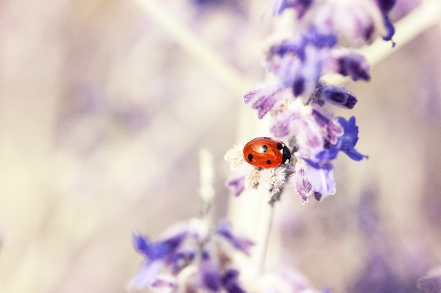 ladybug-676448_640