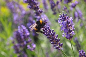 lavender-850862_640