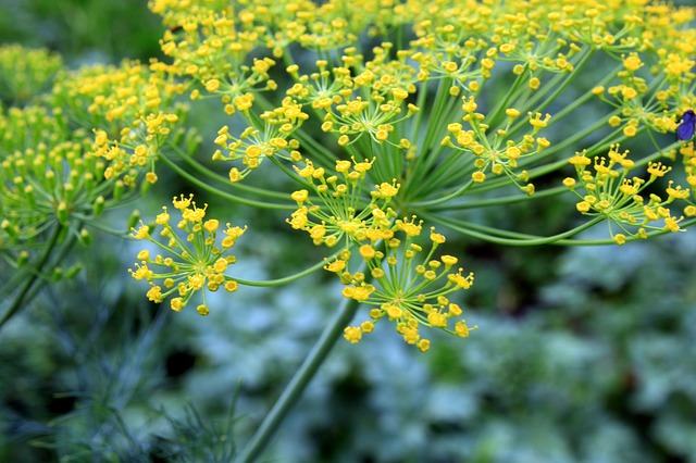 dill-90641_640