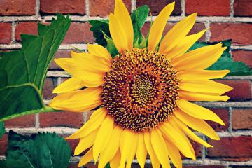 rada_slunecnice_ve_vaze