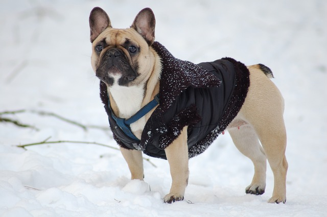 bulldog-1636346_640