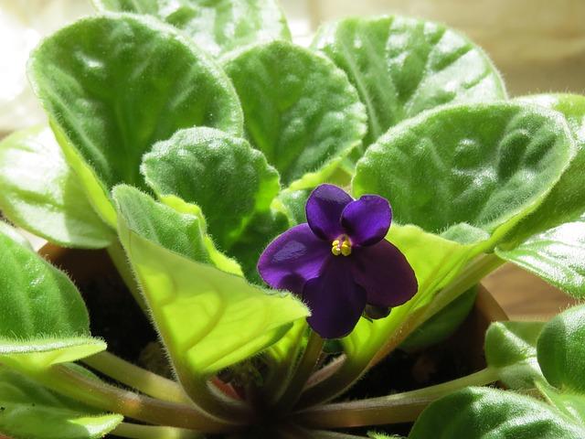 african-violet-290097_640