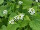 Léčivá bylina česnáček lékařský